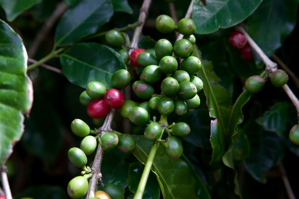 KAUAI_Kona_Kaffee