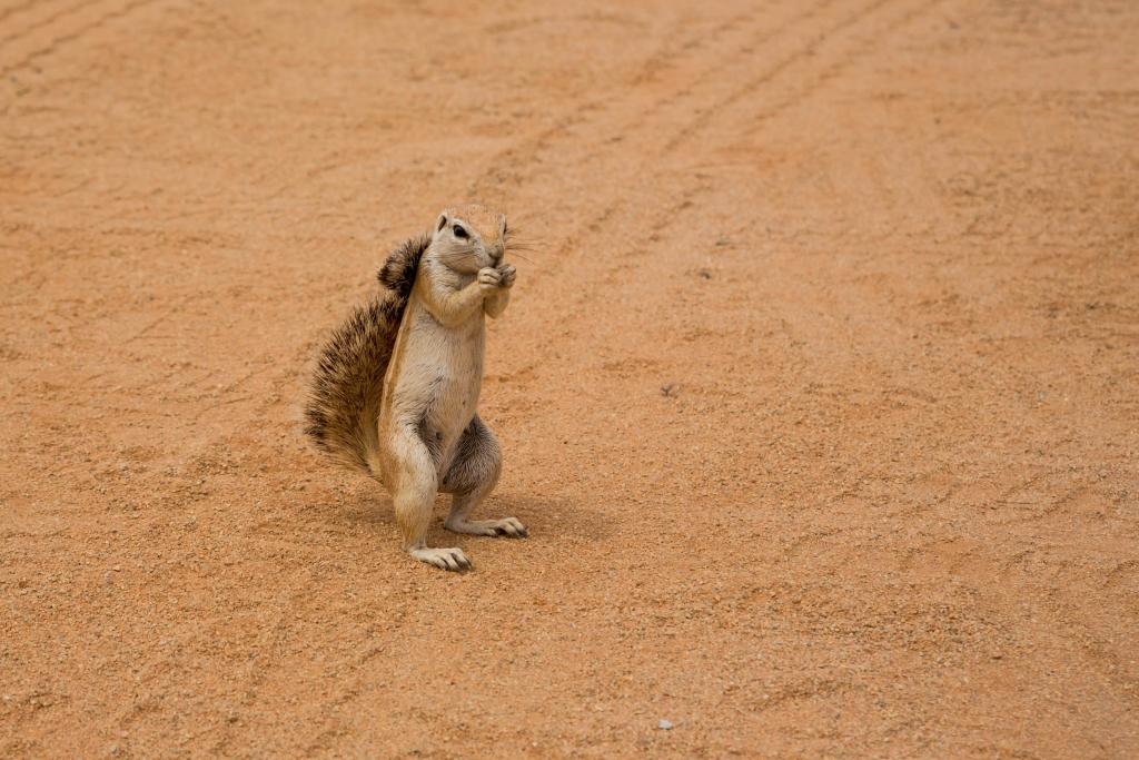 Namibia_Erdhörnchen