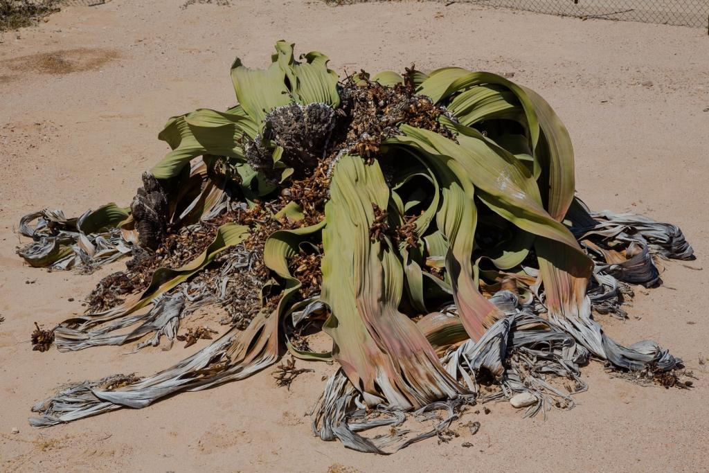 Namibia_Welwitschia
