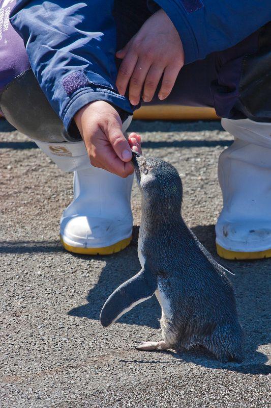 neuseeland, Pinguin