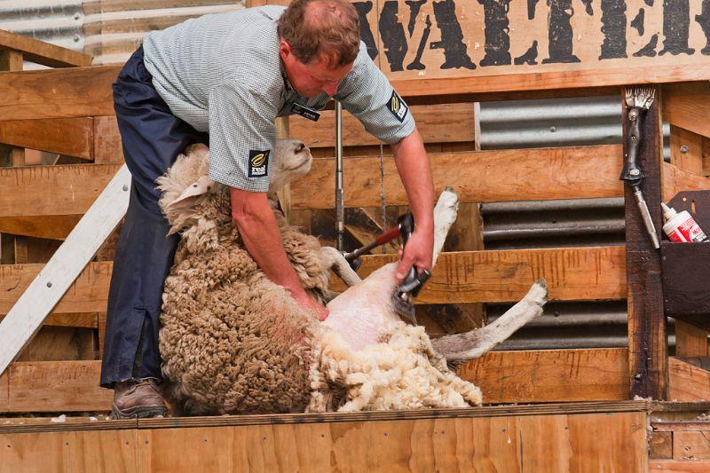 neuseeland, Schafscheren