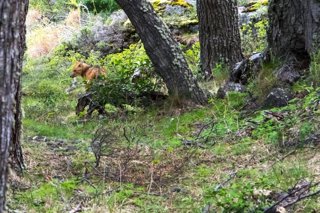 Fuchs im Torres del Peine Nationalpark