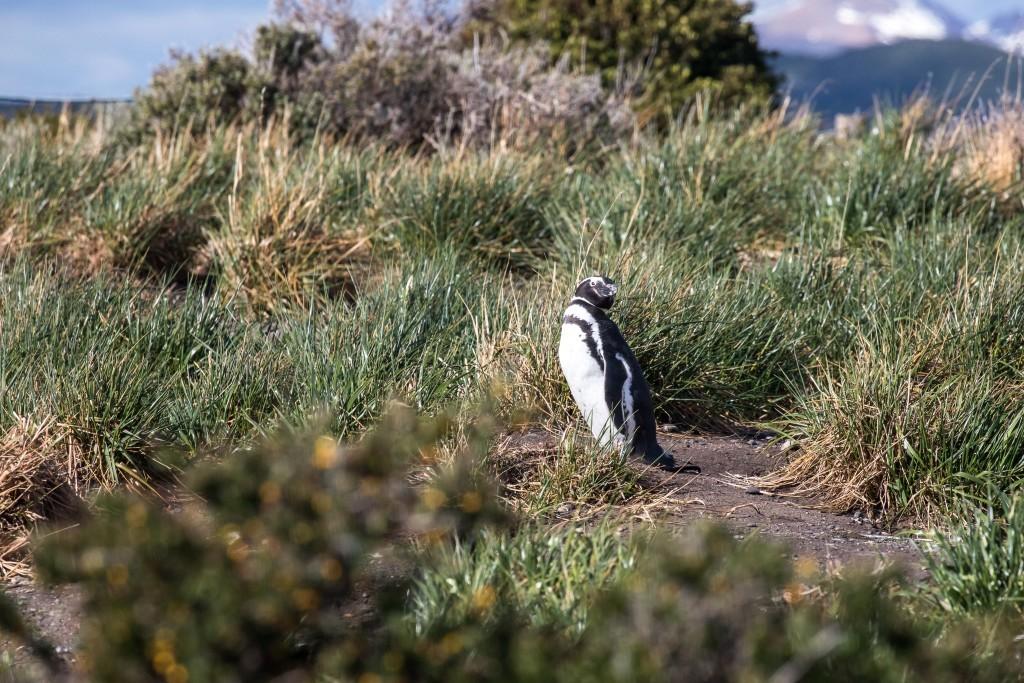 Magellan Pinguin