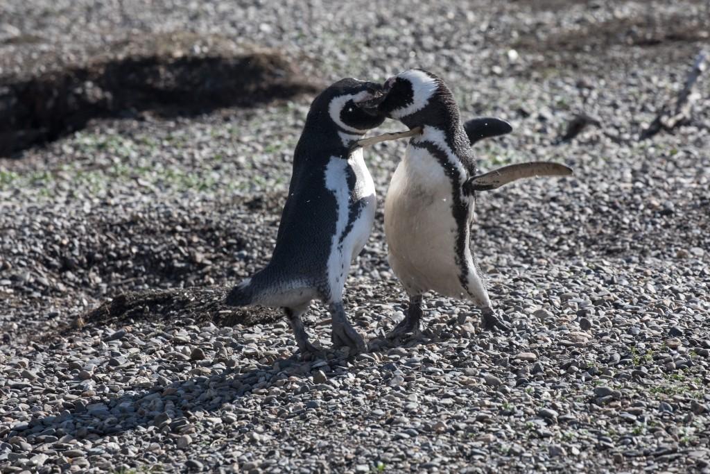 kämpfende Magellan Pinguine
