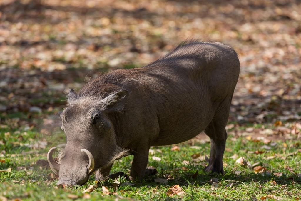 Südafrika_Warzenschwein