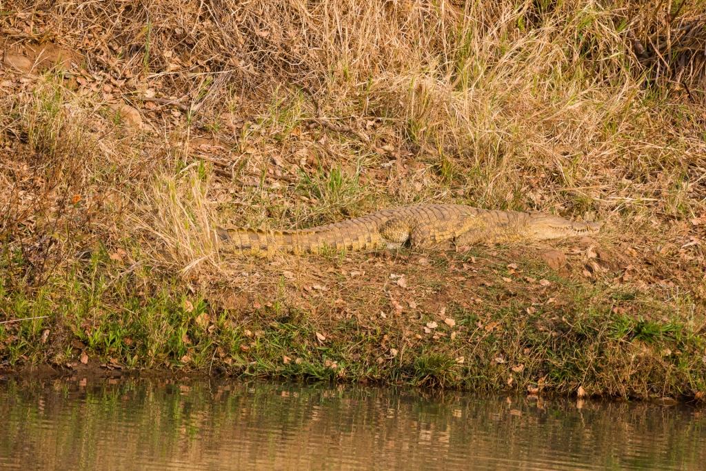 Südafrika_Krokodil
