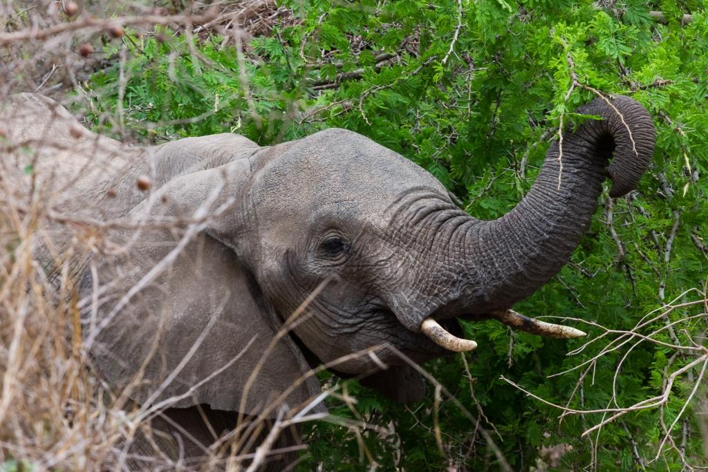 Südafrika_Elefant