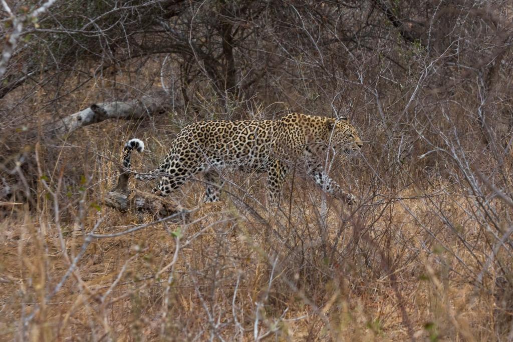 Südafrika_Leopard