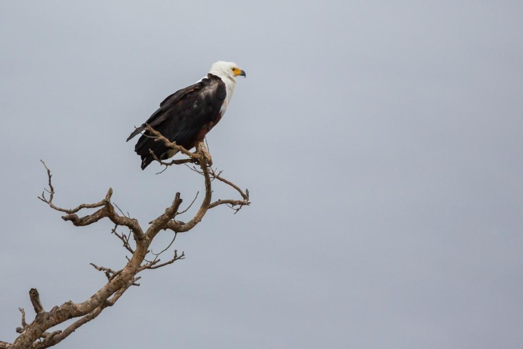 Südafrika_Adler