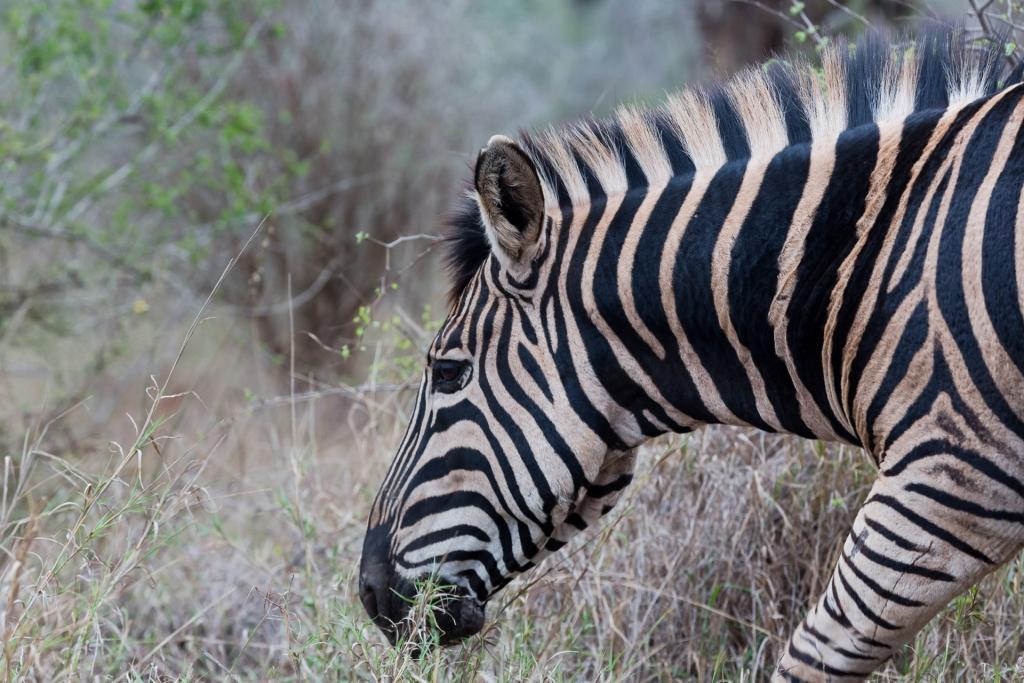 Südafrika_Zebra