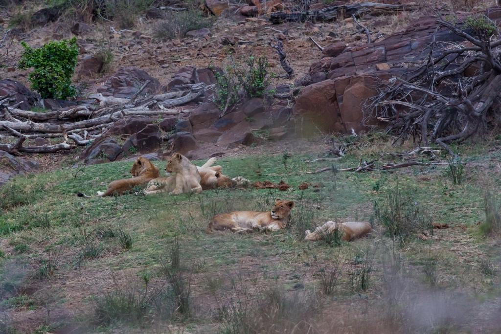 Südafrika_Löwen
