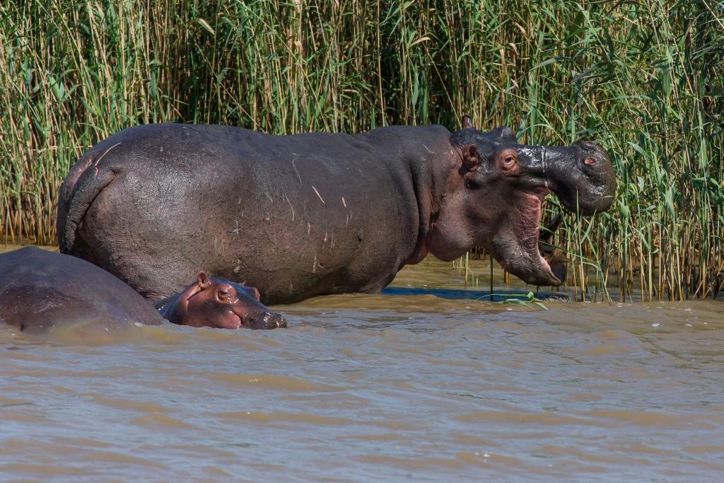 Südafrika_Flußpferd