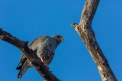 Südafrika_Greifvogel