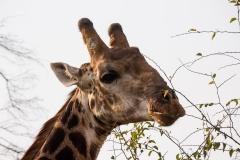 Südafrika_Giraffe