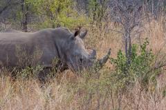 Südafrika_Nashorn