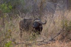 Südafrika_Wasserbüffel