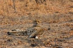 Südafrika_Gepard